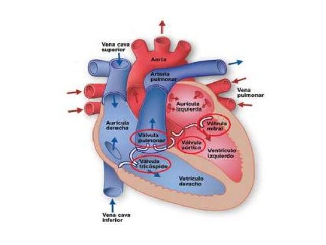 Anatomia y fisiologia sistema cardiovascular