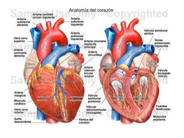 y fisiologia sistema cardiovascular