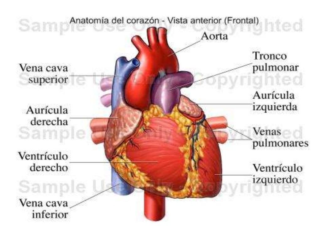 CIENCIAS BIOLOGICAS ANATOMIA Y FISIOLOGIA DEL SISTEMA CARDIOVASCULAR