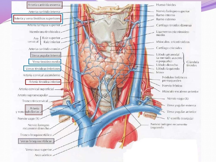 sintesis hormonas esteroideas mitocondria