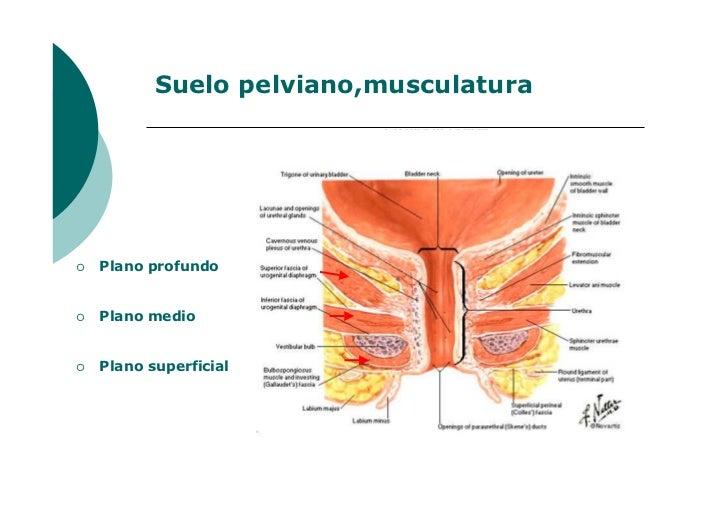 Lujo Pélvica Imágenes De Suelo Anatomía Cresta - Anatomía de Las ...