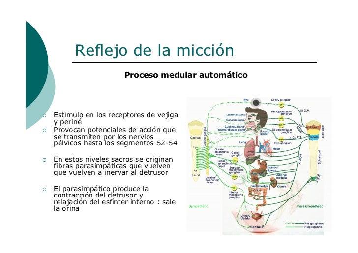 Anatomia y fisiologia de la micción