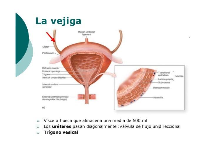 Atractivo Anatomía Vejiga Femenina Componente - Anatomía de Las ...