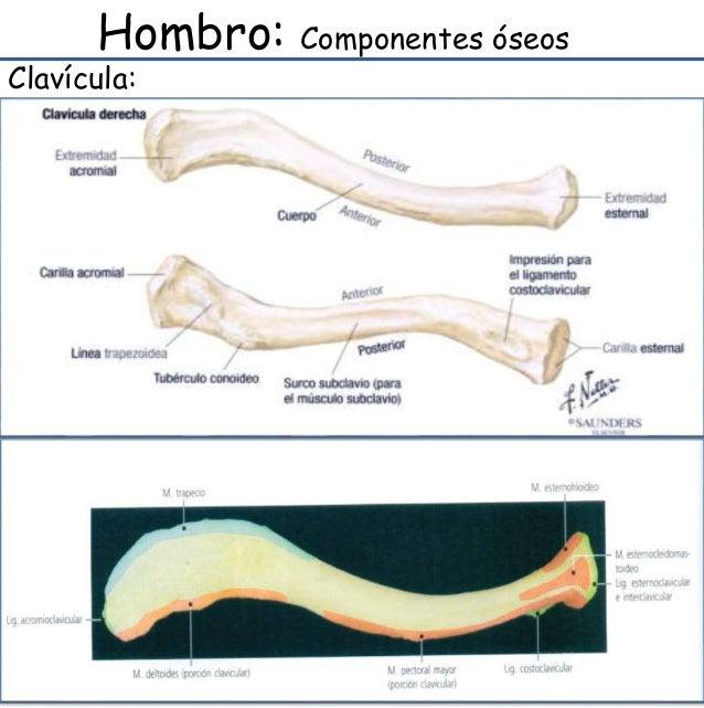 Anatomia y semiologia de hombro Slide 3