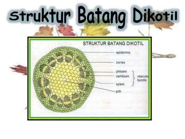 Materi Anatomi Fisiologi Tumbuhan Batang