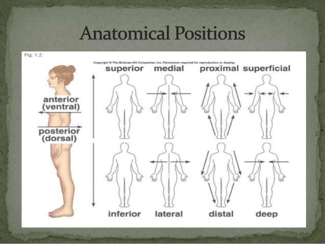 Anatomical Planes Cavities