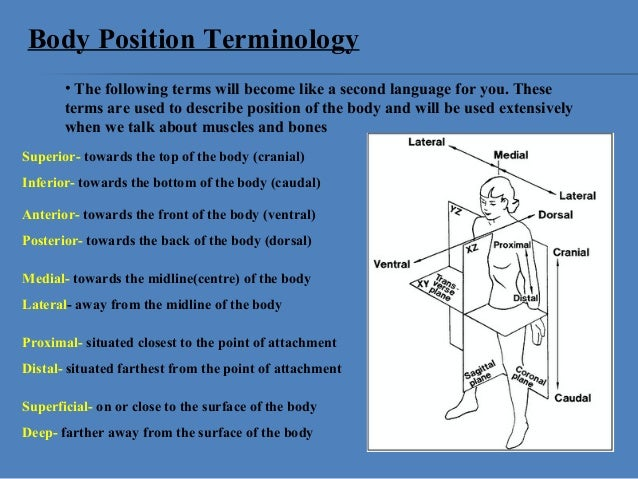 Anatomical Position And Basic Movements