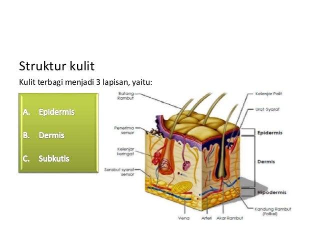 Kulit – Fungsi, Anatomi, Struktur, Lapisan, Kelenjar Dan Susunannya