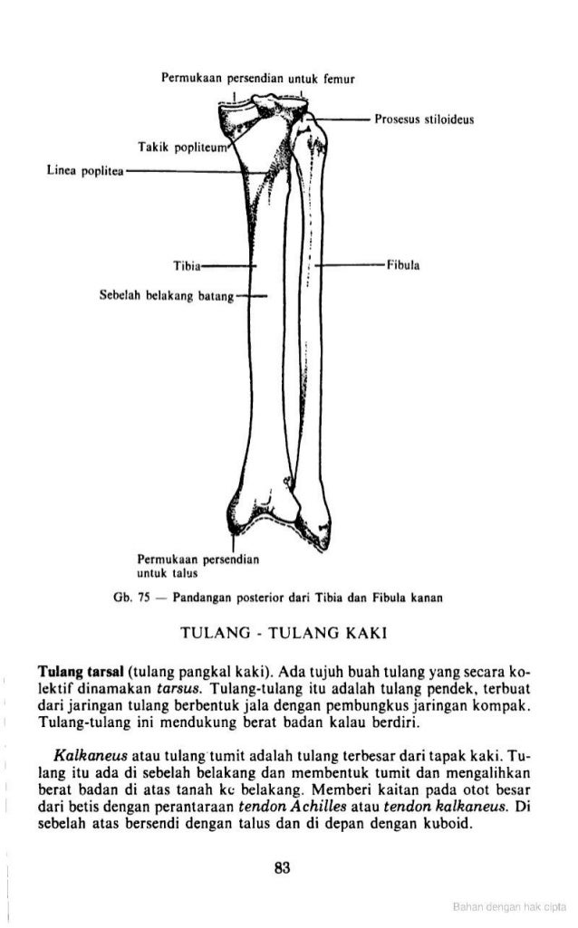 Colorful Anatomi Tibia Fibula Vignette - Anatomy And Physiology ...