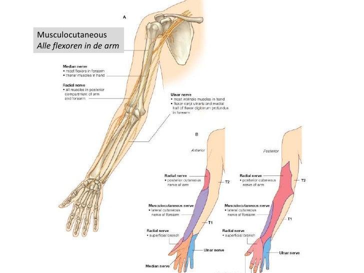 anatomie spieren bovenbeen