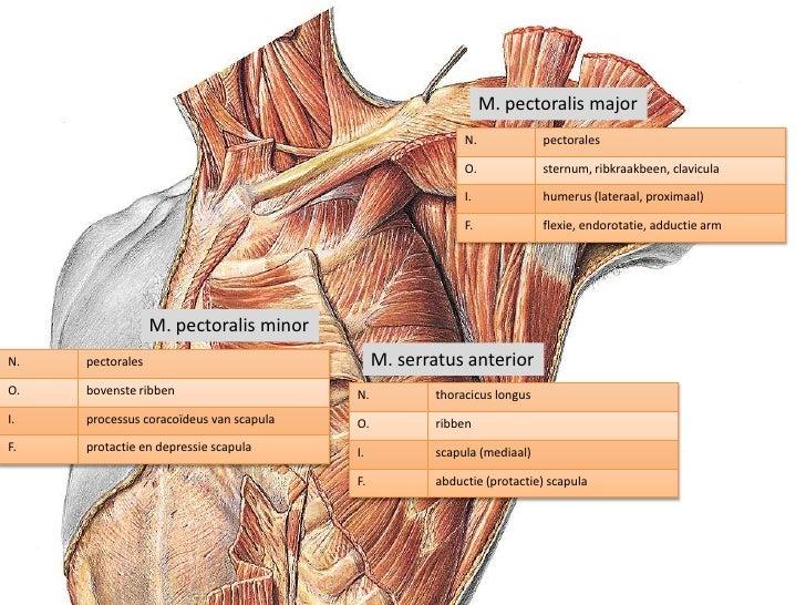 Schön Anatomie Des Pectoralis Major Bilder - Anatomie Von ...