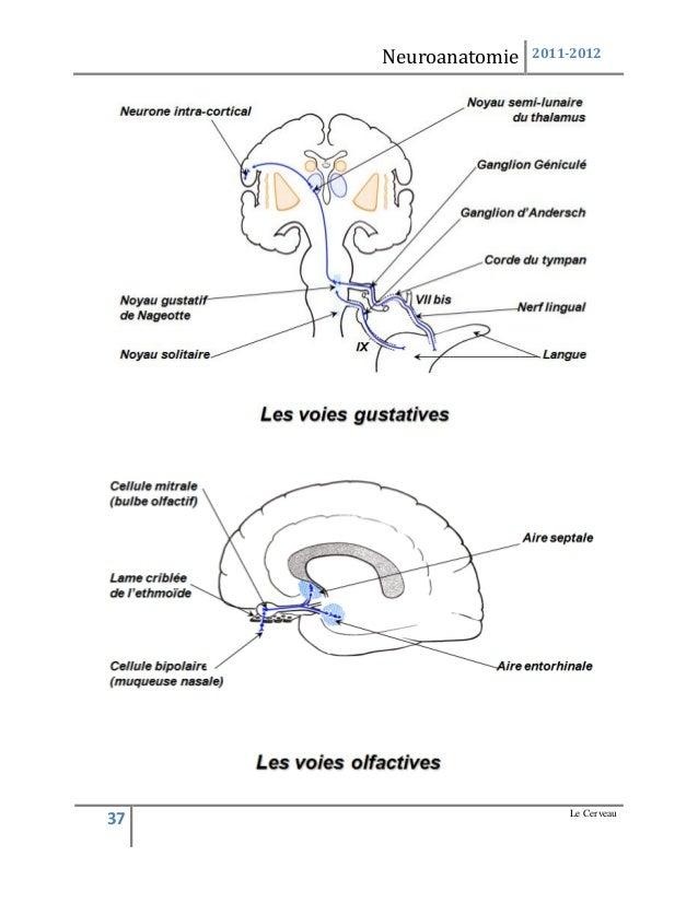 Ziemlich Ganglion Geniculi Anatomie Bilder - Anatomie Von ...
