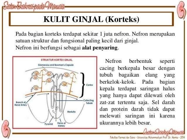 – Major calyces form renal pelvis. – Renal pelvis collects urine. – Transports urine to ureters.