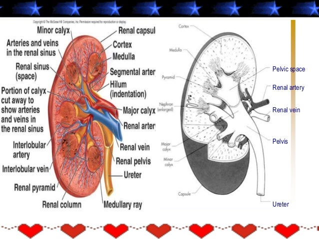 Glomerolus & Kapsula Bowman • Jaringan Kapiler khusus • Melekat pada arterioles kedua sisi – afferent arteriole – efferent...