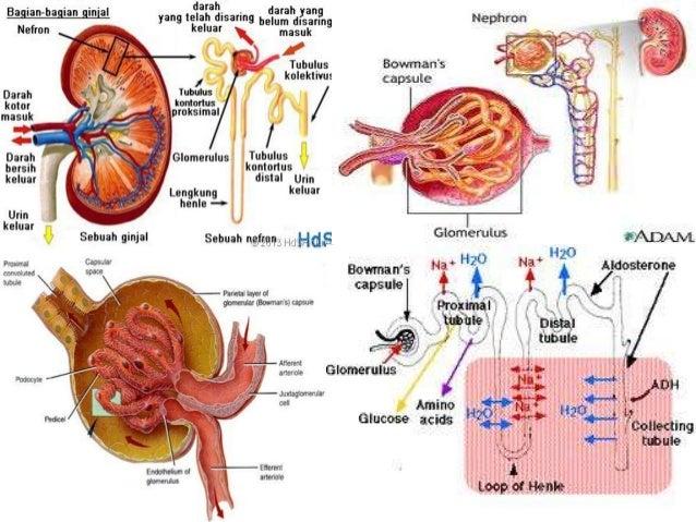 Mengatur volume air (cairan) dalam tubuh Mengatur keseimbangan osmotic dan mempertahankan keseimbangan ion yang optimal da...