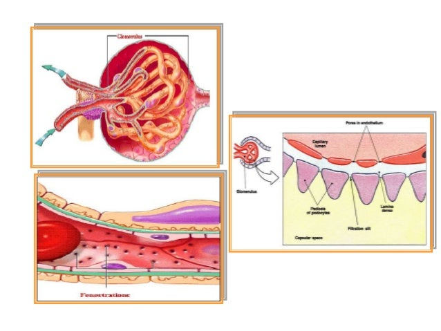 VESICA URINARIA • Letaknya di belakang os pubis. • Terdapat trigonum vesicae pada bagian posteroinferior dan collum vesica...