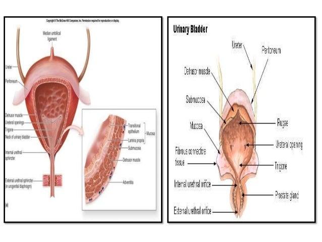 Hormon Yang Mempengaruhi Reabsorpsi Air – Hormon antidiuretik (ADH) berfungsi meningkatkan reabsorpsi air dan filtrate ke ...