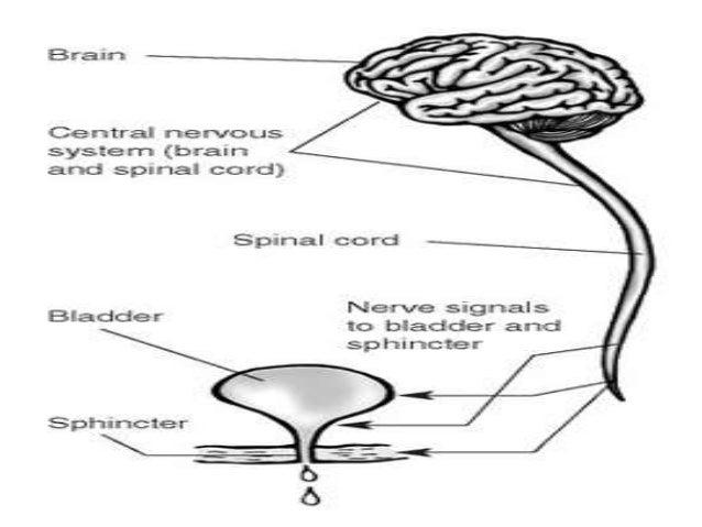 Terdapat 2 jalur reabsorbsi 1. Jalur paraseluler - perpindahan air & zat yg terlarut melalui celah antar sel/tight junctio...