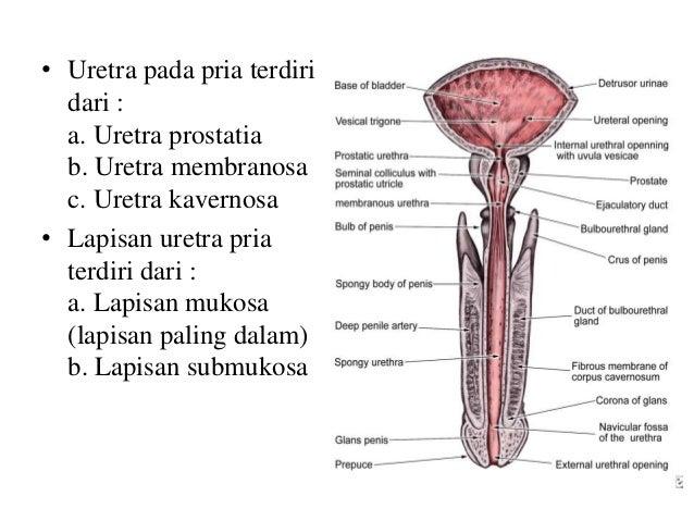 Reabsorpsi Natrium - 99% natrium direabsorbsi di sepanjang tubulus: * 67% di tubulus proksimal * 25% di loop of henle * 8%...
