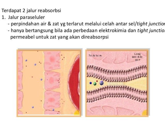 COUNTERCURRENT MULTIPLIER - Ansa Henle nefron jukstamedula bentuknya lurus dan panjang mencapai bagian dalam medula ginjal...