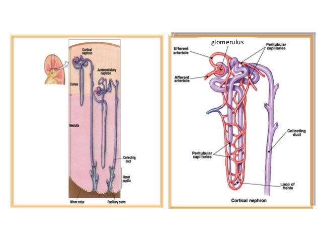 Pemeriksaan Fisik Sistem Perkemihan • Tujuan Pemeriksaan Fisik Ginjal : 1. Mendapatkan kesan kondisi dan fungsi organ perk...