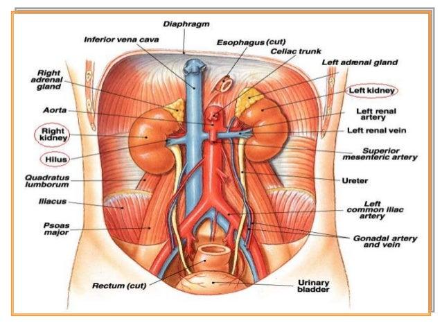 Strukur dan Bagian – Bagian Ginjal • Kulit Ginjal (Korteks) Nefron → glomerolus. Tiap glomerolus dikelilingi oleh simpai b...