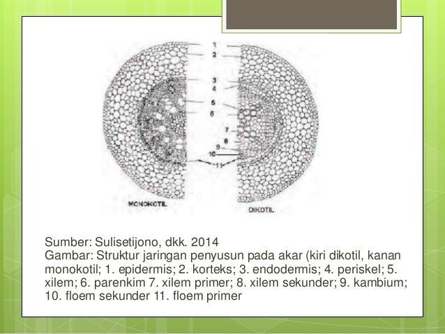 Anatomi Fisiologi Tumbuhan Akar Batang Dan Daun