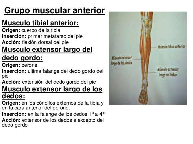 Anatomia: Rodilla - Pierna - Pie