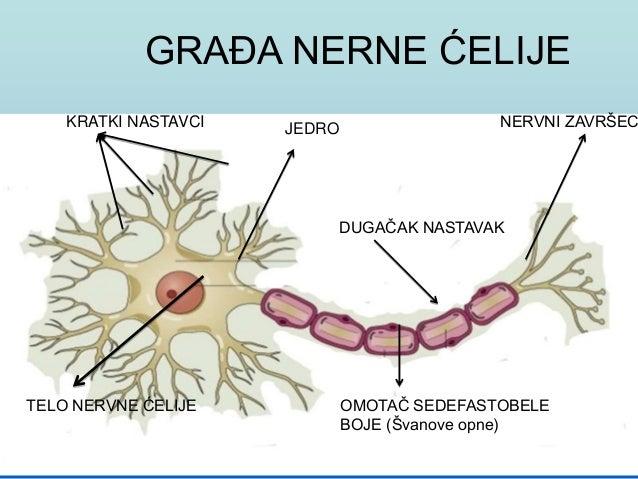 Anatomija  nervnog sistema Slide 2