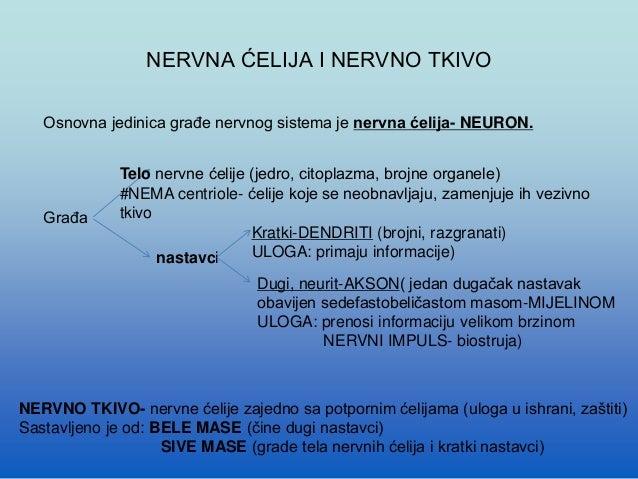 Anatomija  nervnog sistema Slide 3