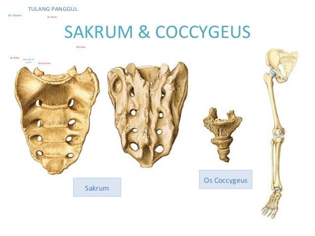 Anatomi musculuskeleta...