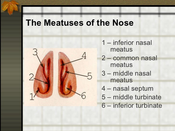 Anatomy and physiology of ENT organs Inferior Meatus Drains Into