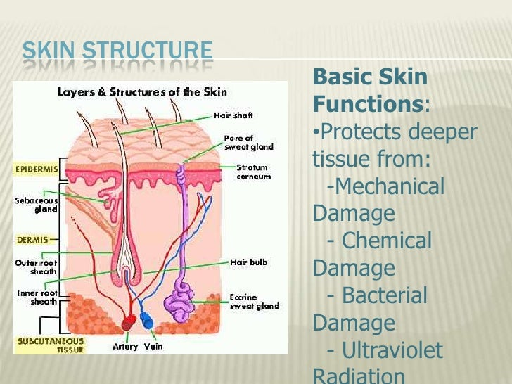 9716022 together with 733056 as well 608987 also Skin And Body Membranes moreover 4022840. on cutaneous mucous and serous
