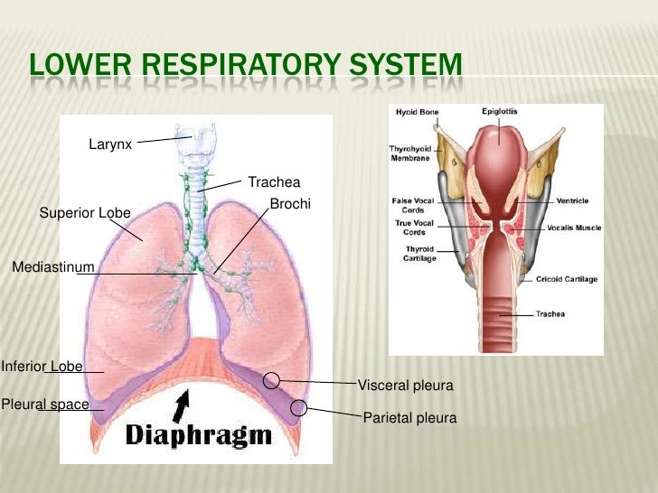 Groß Anatomy And Physiology Of Human Respiratory System Galerie ...