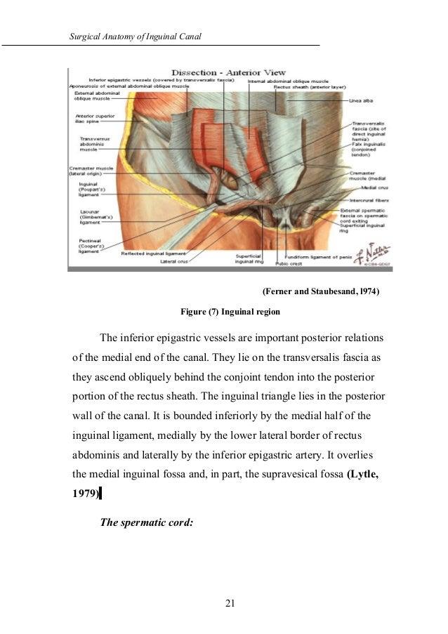 Anatomy of the inguinal region