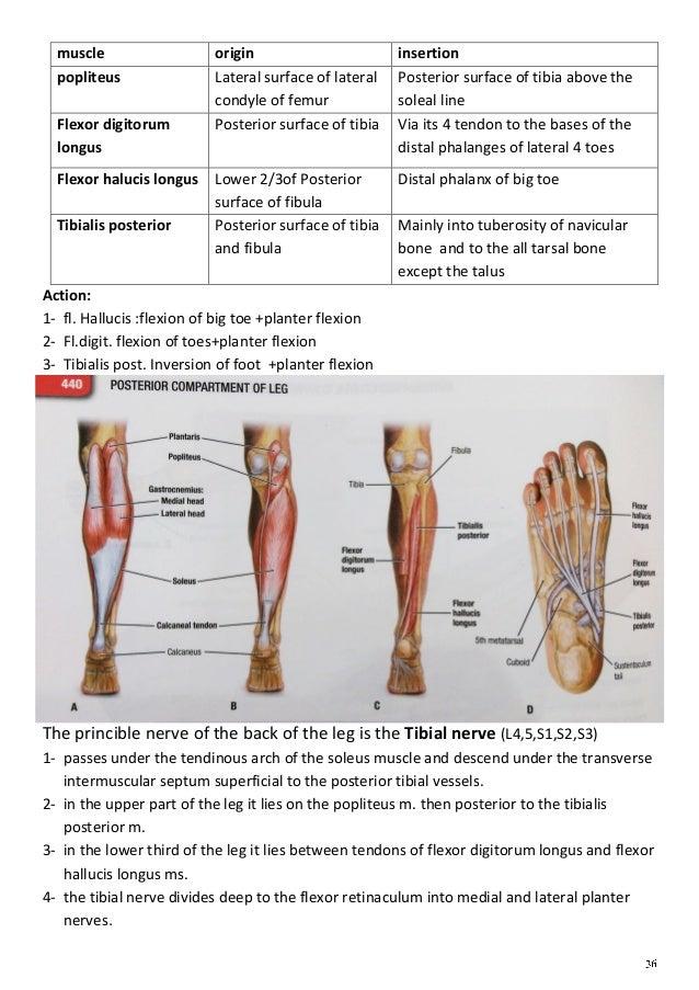 Anatomy lower