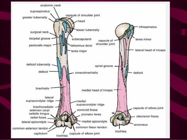 Anatomy Of The Arm Detailed