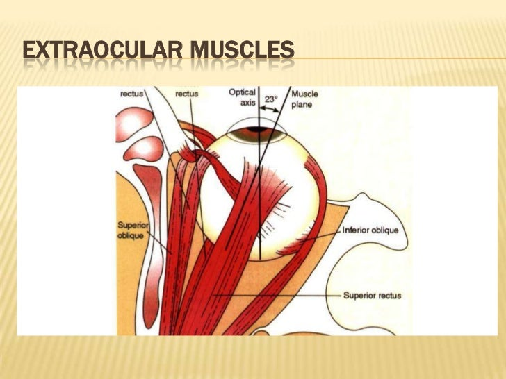 Anatomy Of The Extraocular Muscles 1390 2011