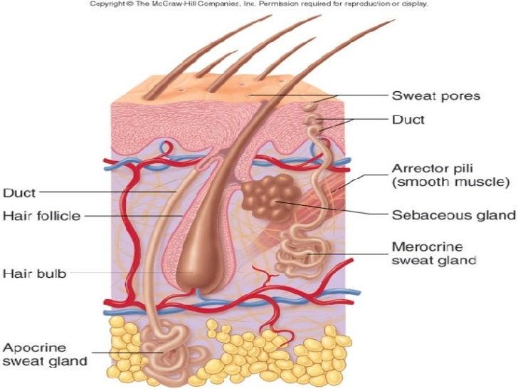 Visual Anatomy And Physiology Hair Follicle Diagram Block And