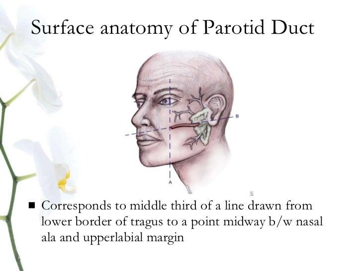 Anatomy parotid gland