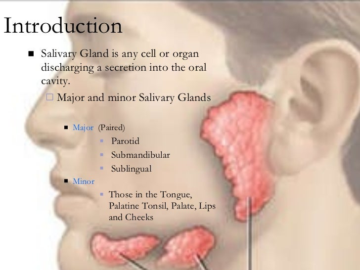 Anatomy Salivary Gland