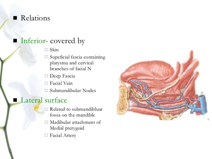 Submandibular gland anatomy
