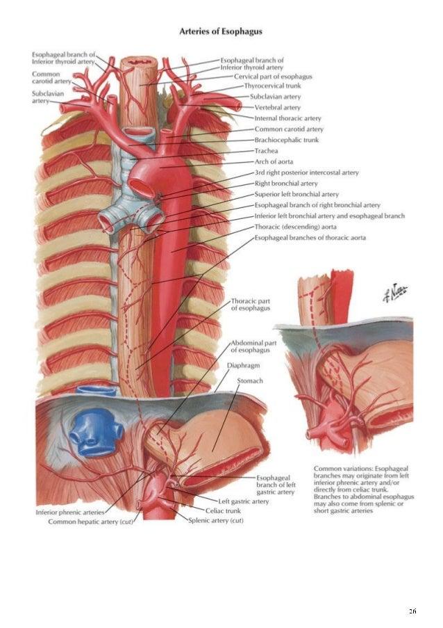 Anatomy Thorax