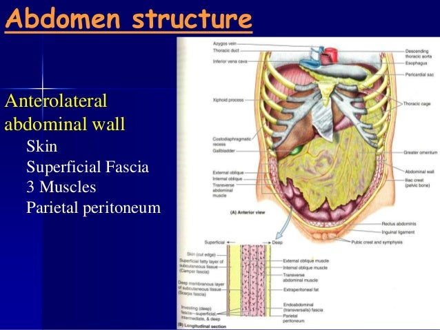 Anatomy 210 Abdomen  U0026 Pelvis For Semester Ii Year 2012