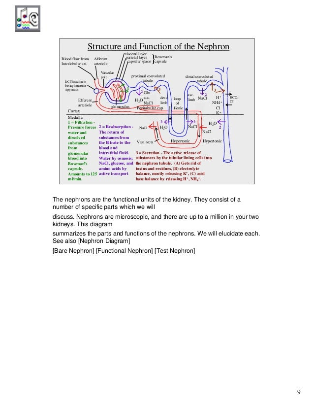Anatomy of urinary system 9 9 functional nephron diagram ccuart Choice Image