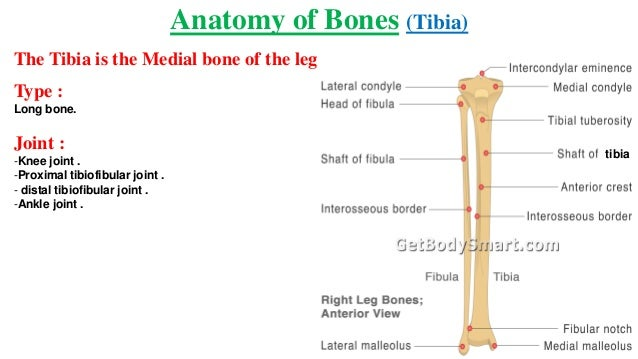 Anatomy Anatomy Of Bone Joint And Muscles Of Lower Limb