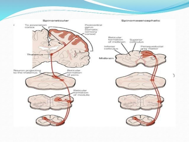 Anatomy And Blood Supply Of Spinal Cord