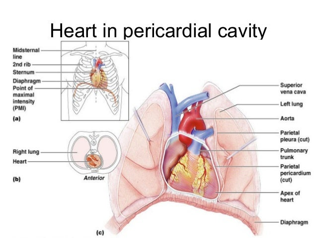 Anatomy and embryology of heart