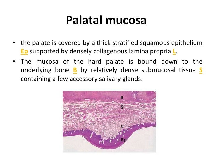 Anatomy And Histology Of Palate