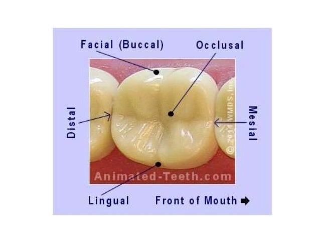 Anatomy and morphology of teeth